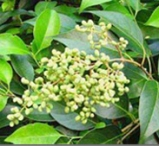 herba-epimedii